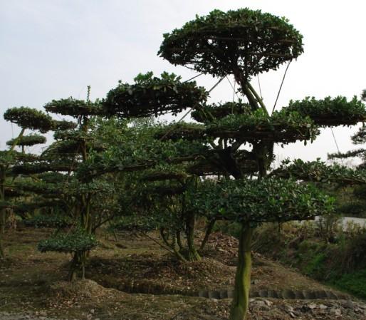 造型大叶黄杨 - 造型苗木 - 苗木交易中心