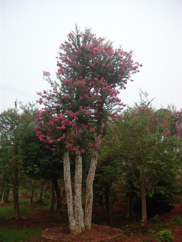 红花紫薇 - 大规格苗木 - 苗木交易中心