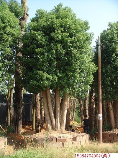多头香樟 - 大规格苗木