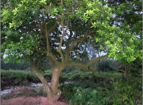 白银树(也叫万紫千红)