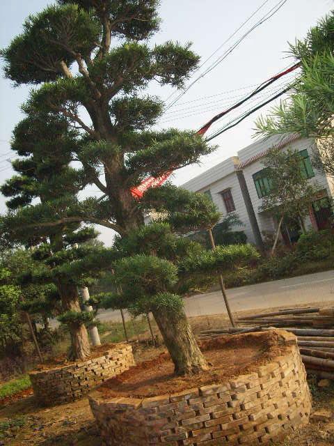 造型罗汉松; 湖南绿兴苗木基地; 造型罗汉松,古桩造型罗汉松,造型