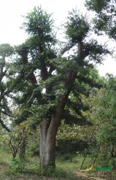 树皮和其他榆树有所区别