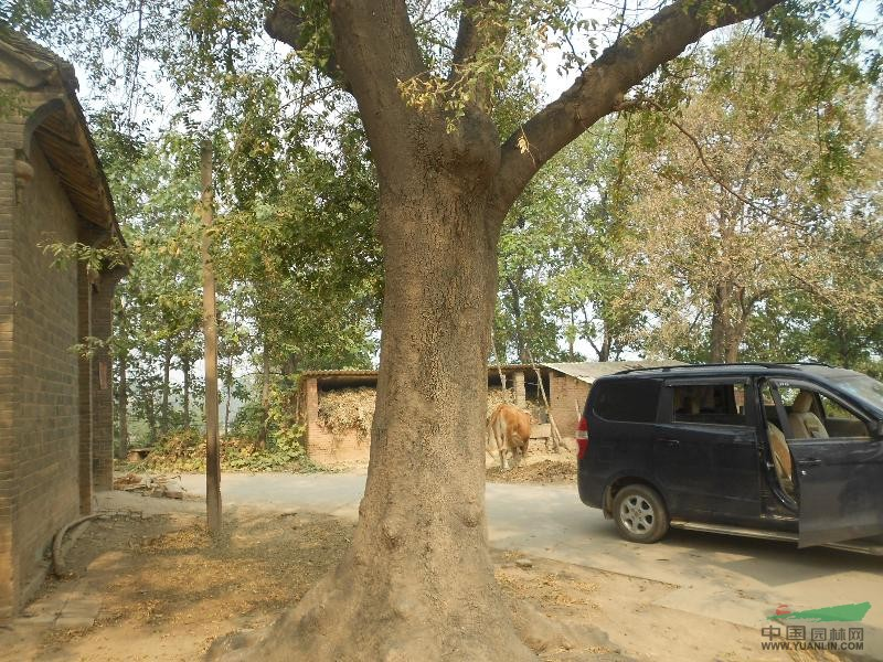 皂角树 - 大规格苗木