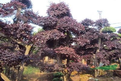 湖南造型红花继木树桩 红花继木盆景