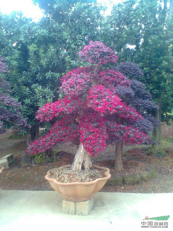 红花继木造型盆景
