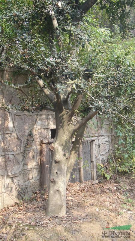 有刺枸骨球 大型无刺枸骨树
