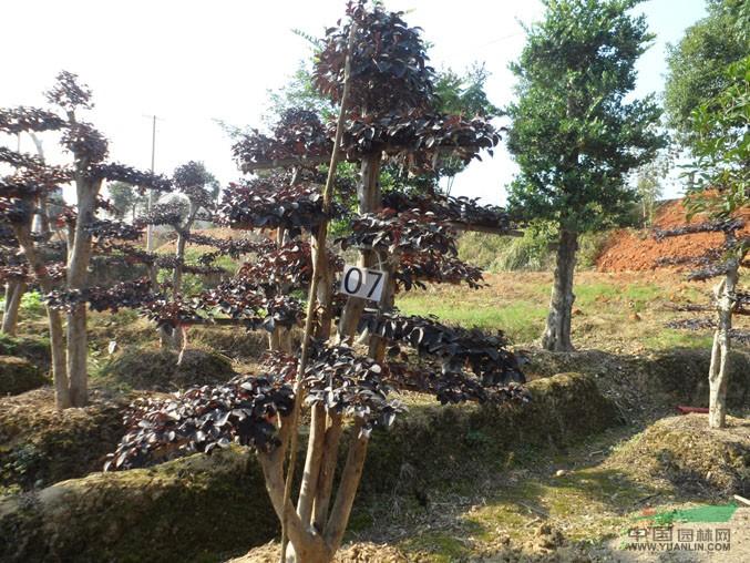 产品编号:5264 产品名称:红花继木造型树桩价格 造型红继木 规 格:12---40 详细描述: 浏阳柏加若森苗圃常年供应红花继木造型树桩 造型独特 规格齐全 欢迎全国各地苗商来本苗圃看样选购。 形态特征 为檵木的变种。常绿灌木或小乔木。树皮暗灰或浅灰褐色,多分枝。嫩枝红褐色,密被星状毛。 价 格:1500 所 在 地:湖南长沙 电话咨询:
