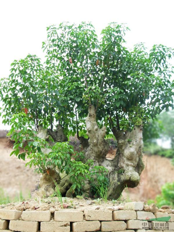供应重阳木造型树头