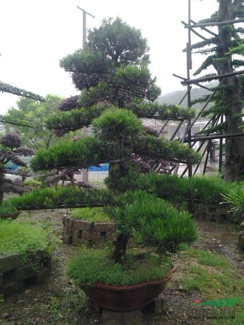 供应盆栽造型罗汉松