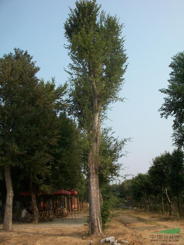 产品编号:5811 产品名称:40公分榔榆树 规 格:40CM 详细描述:1、挖掘老桩宜在冬、春和梅雨季节,这时挖出的老桩易成活。挖 掘时要注意保护须根,多带须根,截去主根。 2,只要树桩挖来时保持不干、新鲜、及时正确地截剪,迅速种好,保持湿润,是较易成活的。而保持湿润又是管理中的一个关键。,3,采用深埋加喷水是是不错的方法,即埋的高度是主桩高度的2/3或3/5处为好(注意:要将期待发芽的枝杈露于土外)。待其发芽成枝时,逐渐减少围土。 价 格: 所 在 地:河南南阳 电话咨询: