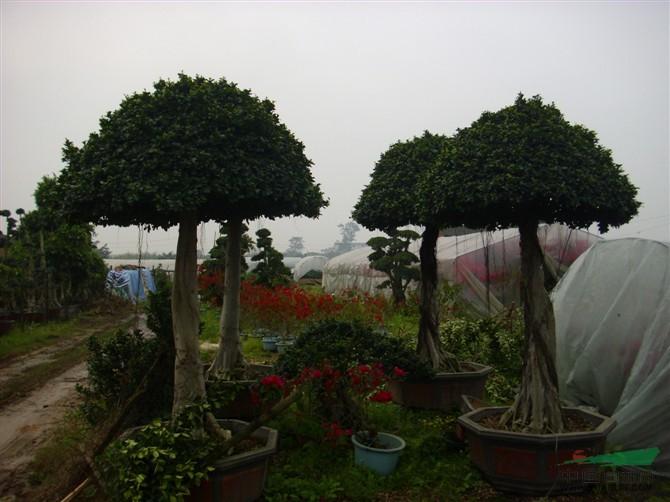 造型榕树盆景
