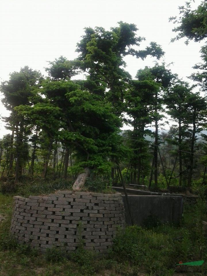 江南油杉 - 大规格苗木