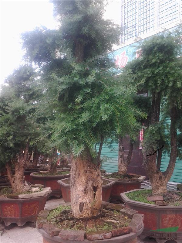 江南油杉头 - 造型苗木