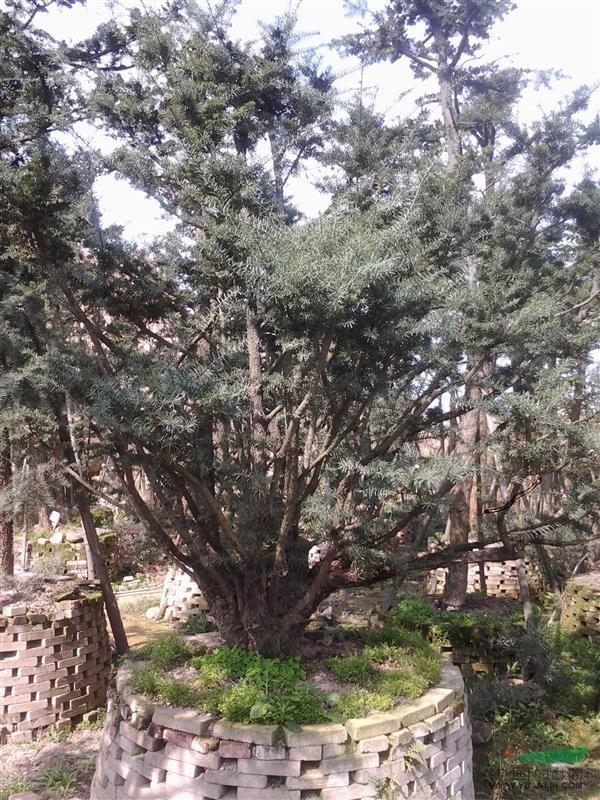 江南油杉 - 造型苗木