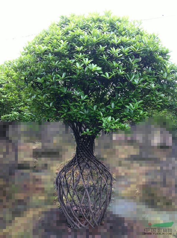造型桂花 (丹桂花瓶) - 造型苗木 - 苗木交易中心