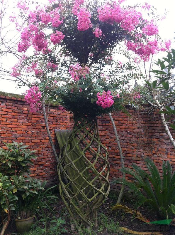 艺术紫薇花瓶 - 造型苗木