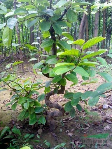 应15公分造型木瓜树