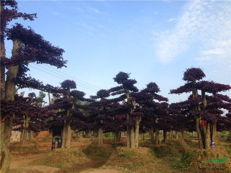 造型红花继木树桩,造型红花继木盆景价格