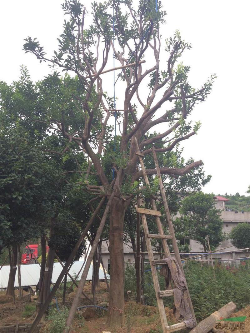 产品编号:11423 产品名称:柚子树(香泡树) 规 格:米径33公分,2米5分支,冠幅4米5,总高7米5 详细描述:米径33公分,2米5分支,冠幅4米5,总高7米5 大量出售批发精品经典柚子树(香泡树) 各种大小规格齐全.品种优美.是庭院绿化首选.希望新老客户到实地考察采购.可承诺当天起树当天发货.