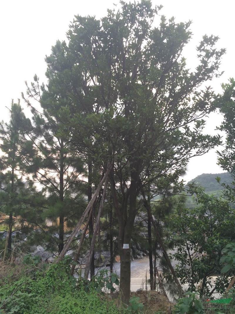 产品编号:11424 产品名称:柚子树(香泡树) 规 格:米径24公分,1.2米分支,冠幅4.5米,总高8米 详细描述:米径24公分,1.2米分支,冠幅4.5米,总高8米 大量出售批发精品经典柚子树(香泡树) 各种大小规格齐全.品种优美.是庭院绿化首选.希望新老客户到实地考察采购.可承诺当天起树当天发货.