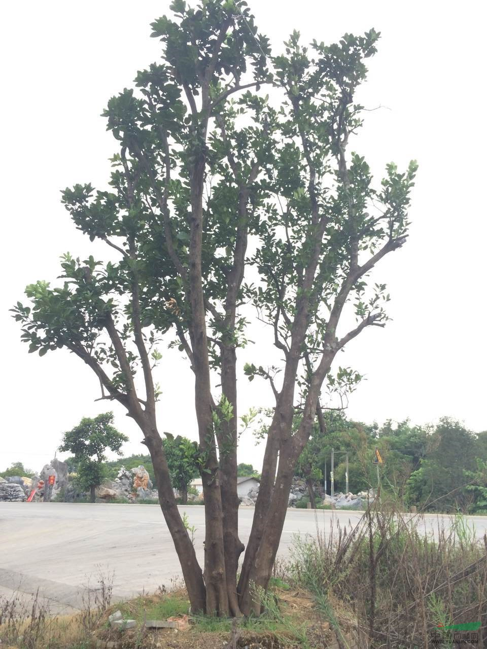 产品编号:11419 产品名称:柚子树(香泡树) 规 格:地径78公分,冠幅5米2,总高8米1,五杆分支每杆15-23公分 详细描述:地径78公分,冠幅5米2,总高8米1,五杆分支每杆15-23公分 大量出售批发精品经典柚子树(香泡树) 各种大小规格齐全.品种优美.是庭院绿化首选.希望新老客户到实地考察采购.