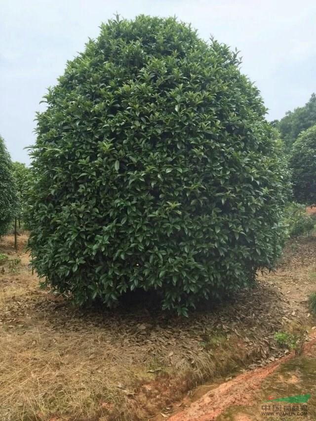 桂花造型树技术图解