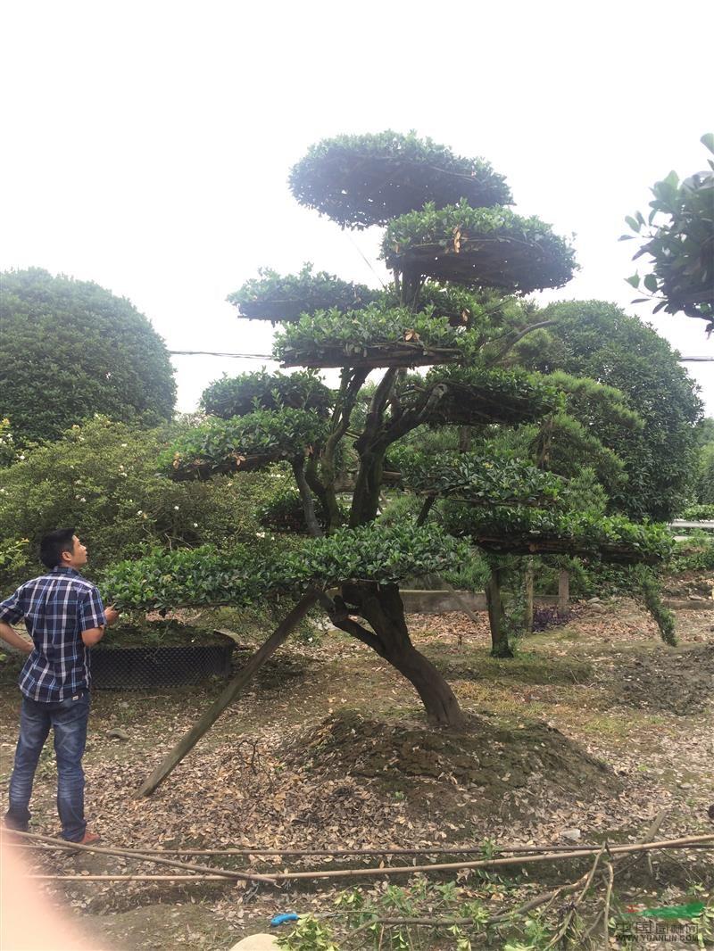 大叶黄杨造型树 - 造型苗木 - 苗木交易中心