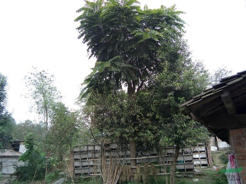 坟头上长椿树好不好