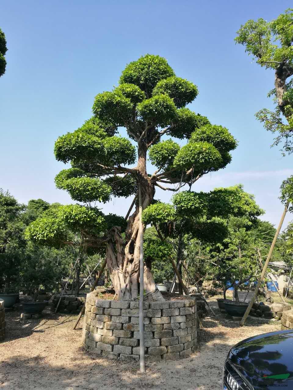 造型小叶榕