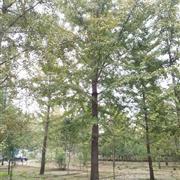 供应40公分实生银杏树