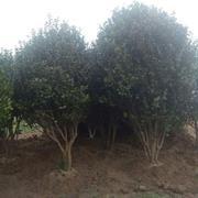 地径15公分茶花