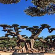 1500年西班牙橄榄树