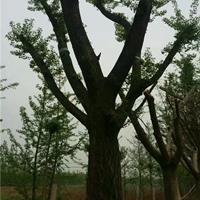 二次移栽大规格银杏树