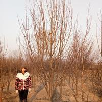 15公分八棱海棠报价 八棱海棠移栽管理