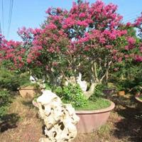 大型、特大型紫薇树(桩)供应
