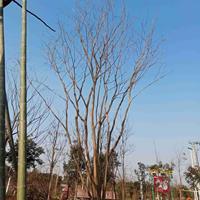 大规格从生朴树7杆110公分